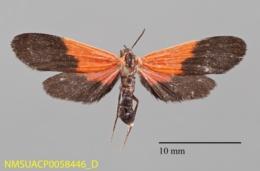 Lycomorpha pholus image