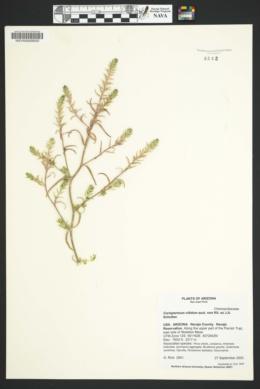 Corispermum nitidum image