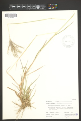 Image of Bothriochloa insculpta