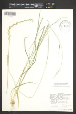 Thinopyrum intermedium subsp. barbulatum image