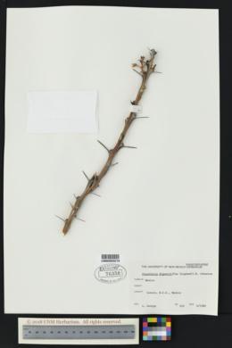 Fouquieria diguetii image