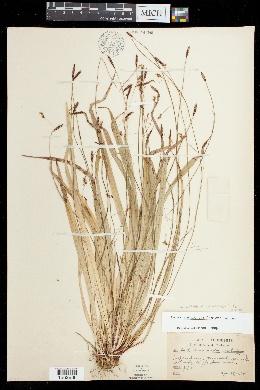Carex austrocaroliniana image