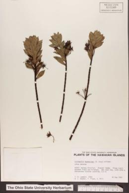 Image of Lysimachia daphnoides