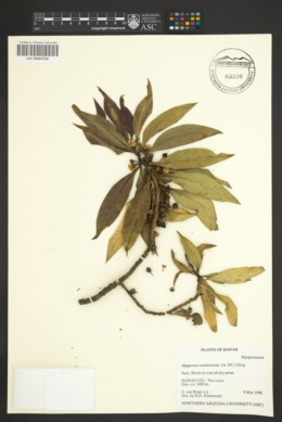 Myoporum sandwicense image
