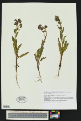 Phacelia integrifolia image