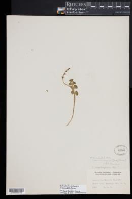 Botrychium neolunaria image