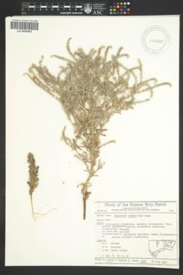 Cryptantha fendleri image