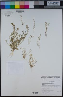 Image of Hornungia procumbens
