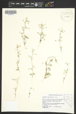 Image of Cleomella parviflora