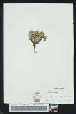 Phlox caespitosa image