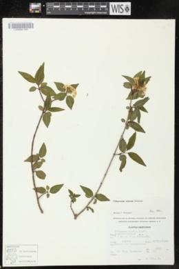 Image of Viburnum elatum