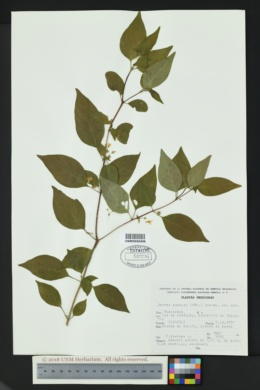 Image of Hoffmannia excelsa
