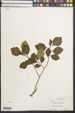 Image of Crataegus bisulcata