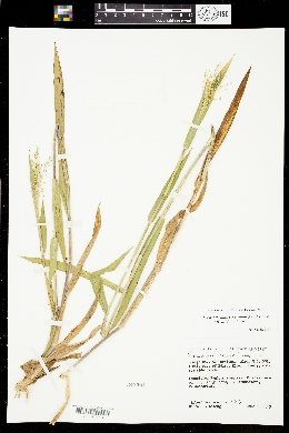 Dichanthelium scoparium image