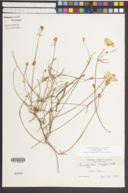 Calystegia longipes image