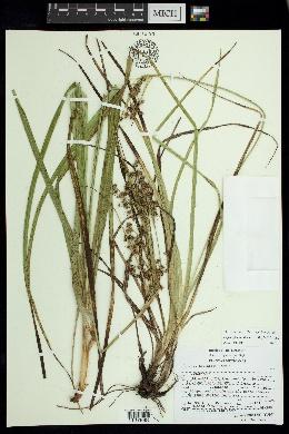 Image of Cypringlea analecta