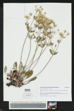Eriogonum jamesii image