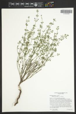 Hedeoma nana subsp. macrocalyx image