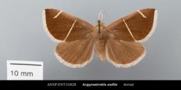 Argyrostrotis anilis image