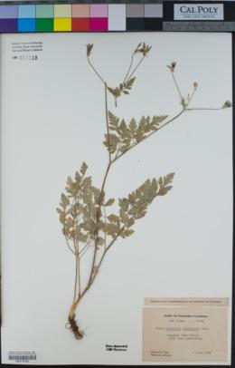 Osmorhiza brachypoda image