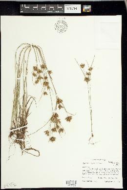 Cyperus houghtonii image