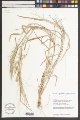 Image of Panicum gilvum