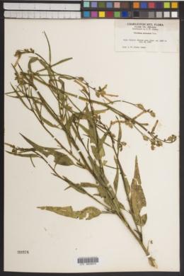 Nicotiana attenuata image