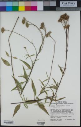 Ageratum corymbosum image