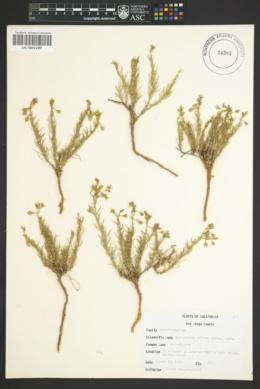 Image of Spergularia villosa