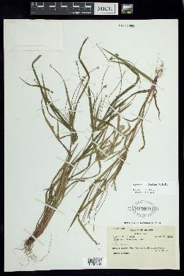 Image of Cyperus simplex