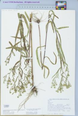 Symphyotrichum lanceolatum var. hesperium image