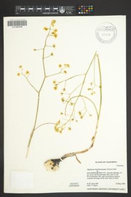 Zigadenus brevibracteatus image