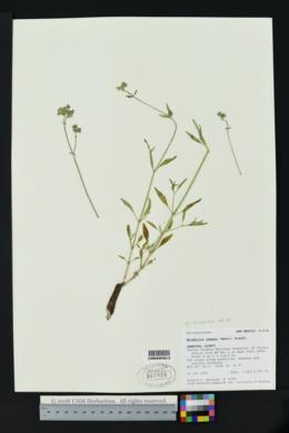 Mirabilis albida image
