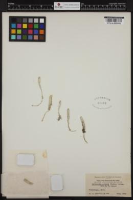 Halicoryne spicata image