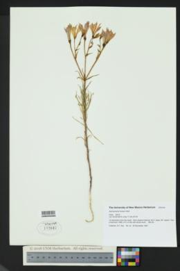 Image of Alstroemeria hookeri