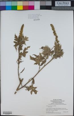 Ambrosia arborescens image