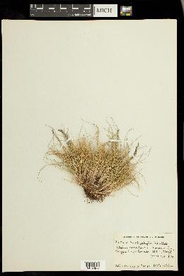 Festuca brachyphylla image