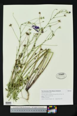 Image of Callirhoe leiocarpa