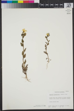 Image of Phacelia grandiflora