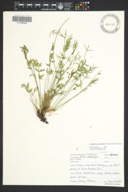 Aletes macdougalii subsp. macdougalii image