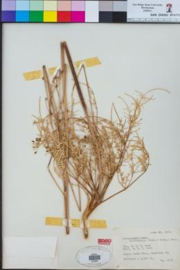 Image of Perideridia californica