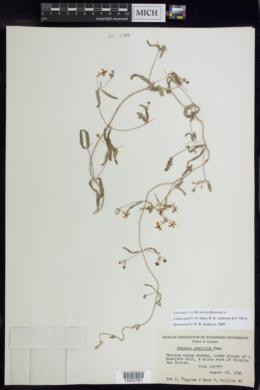 Cottsia gracilis image