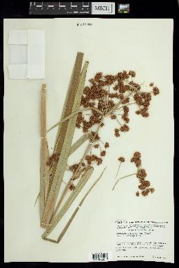 Image of Rhynchospora gigantea