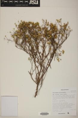 Oncosiphon piluliferum image