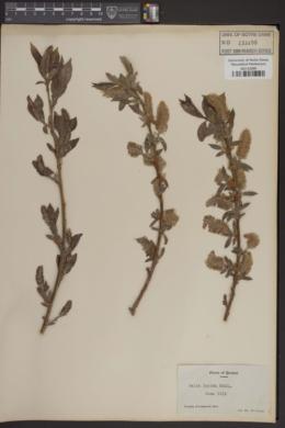 Salix lucida image