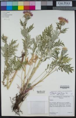 Image of Centaurea hypoleuca