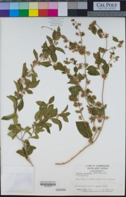 Gymnema sylvestre image