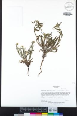 Amsinckia menziesii image