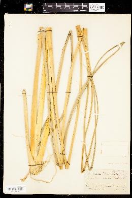 Image of Zizaniopsis miliacea