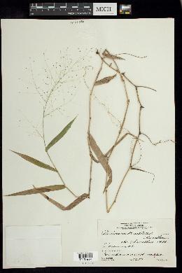Image of Panicum bartlettii